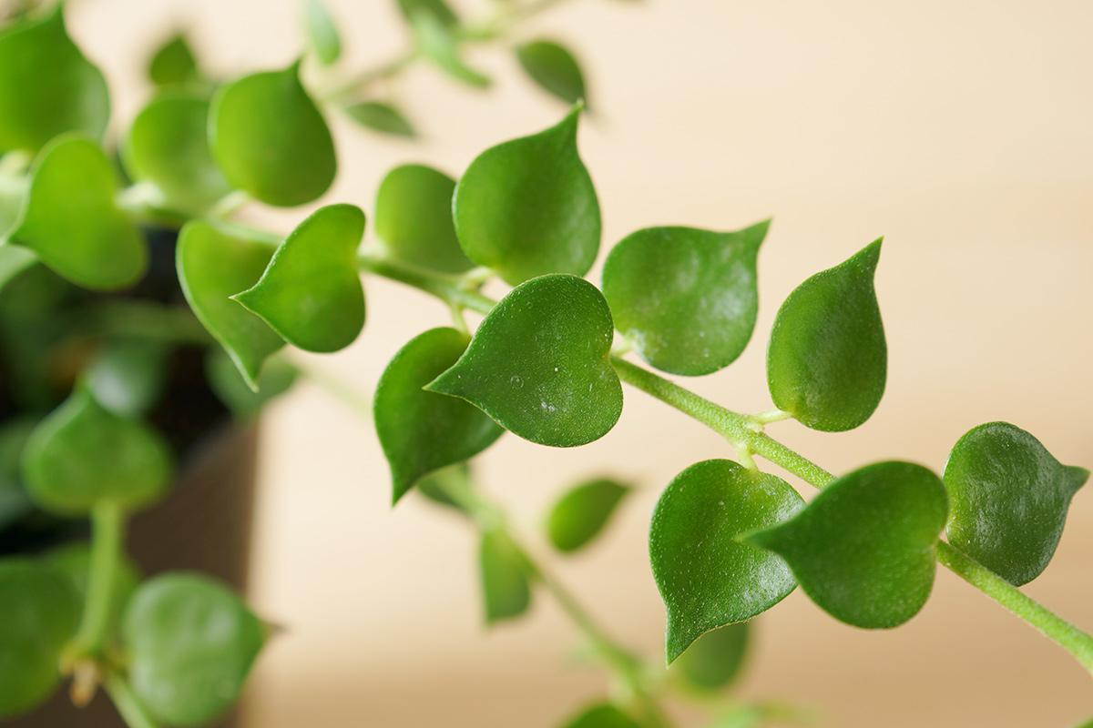 かわいいハート型の葉