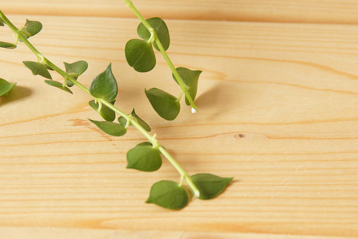 茎をカットするとにじみ出る白い液